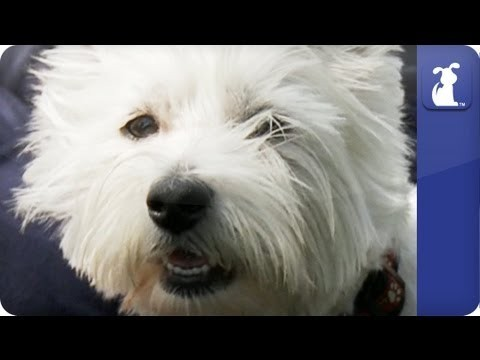 Doglopedia: The Pet Collective / West Highland White Terrier