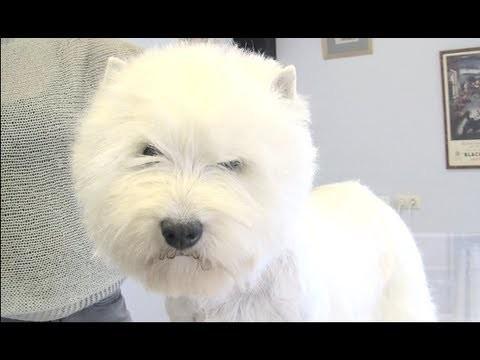 Westie trim grooming (trimare)
